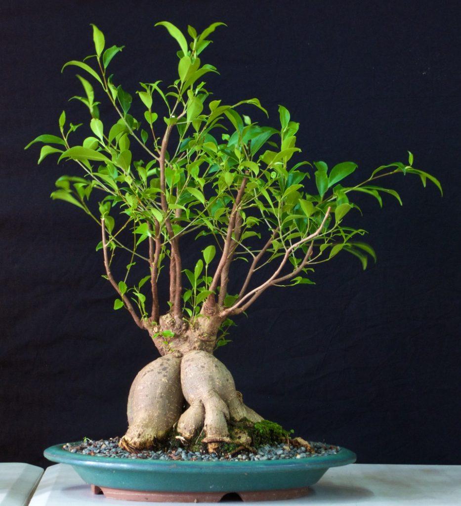 Banyan Fig