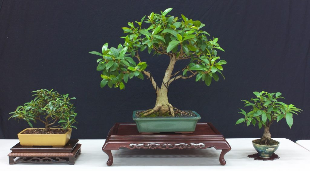 Little Ruby Fig, Fig, Chinese Banyan.