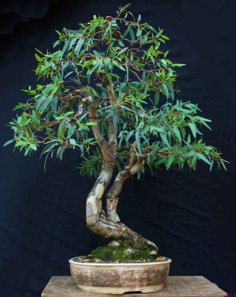 River Red Gum - Eucalyptus camaldulensis
