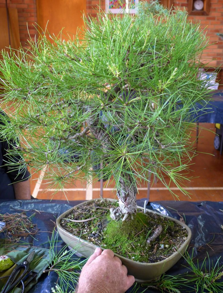 Red Pine - maybe?