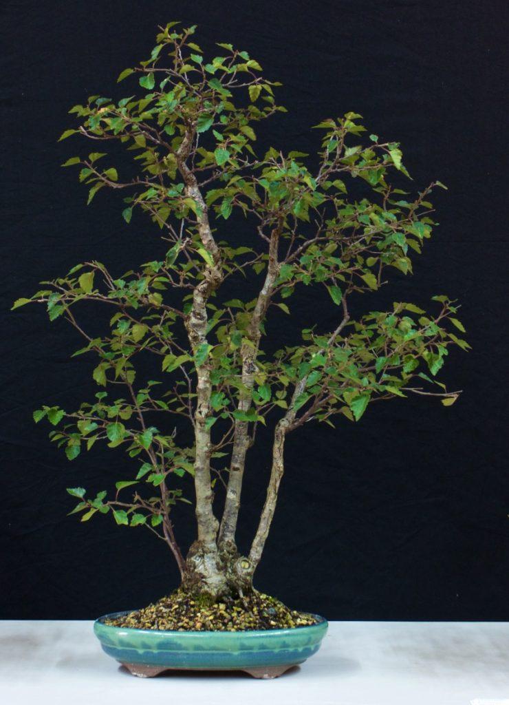 Purple Birch