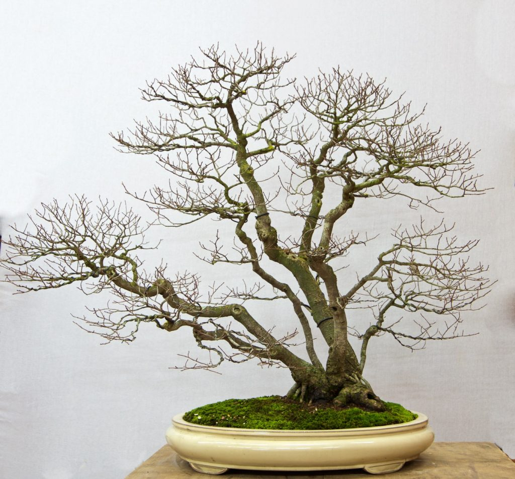 English Elm:   This unusual tree with a wild composition has great ramification. You will find the eye wanting to investigate the many aspects of this tree.
