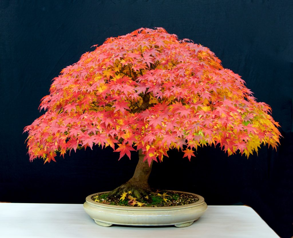 Japanese maple:   This is an amazing tree that demands attention. In this phase, it is all about the foliage and that provides a high impact image. When the leaves drop and the tree structure is revealed, a very different tree will emerge.