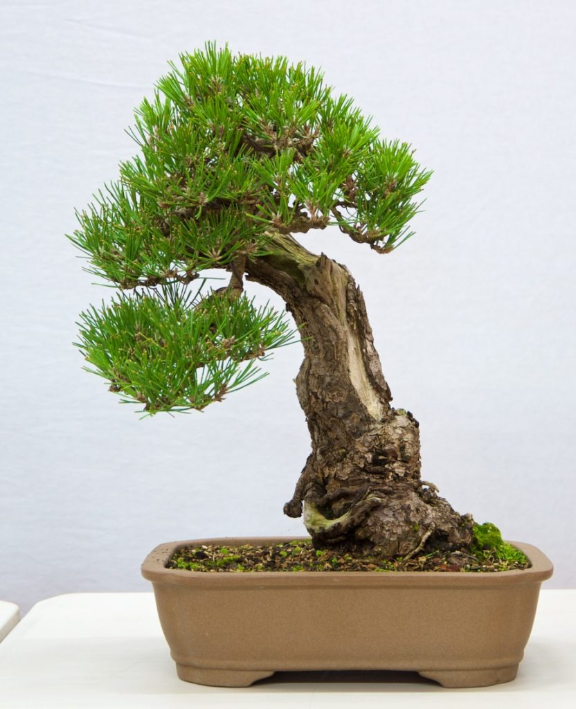 Black Pine:   This tree is a good example of what can be achieved by constantly critically assessing your tree.
