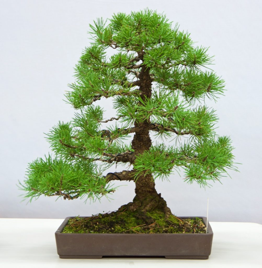 Mugo Pine:   This is a tree with many interesting features; some of which are not visible with the current front. The compact foliage of this tree really helps the eye focus on the interesting features which have been developed over many years. May be a smaller round or oval pot would add value to this tree.