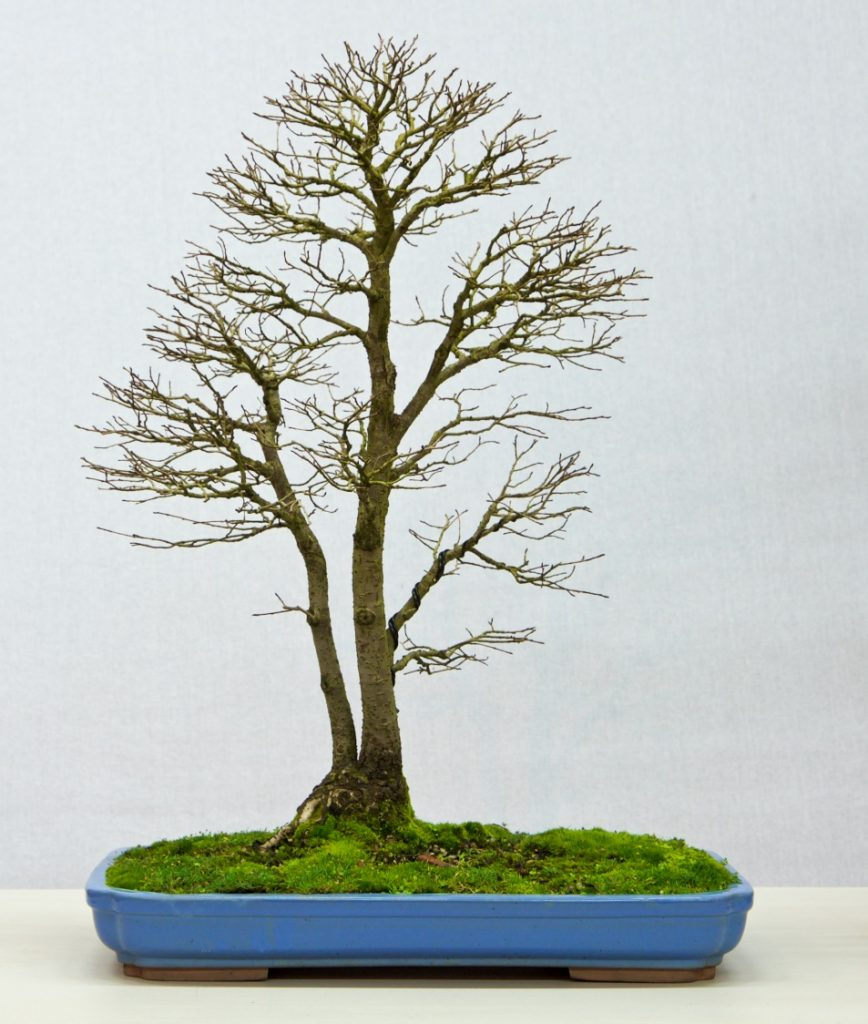 English Elm:   This tree has amazing branches and fine ramification. It matches a field tree well. There is a well rounded head and it encourages visualisation of what may be around the tree. The bright colour of the pot helps the presentation but would a narrower and smaller pot enhance the display?