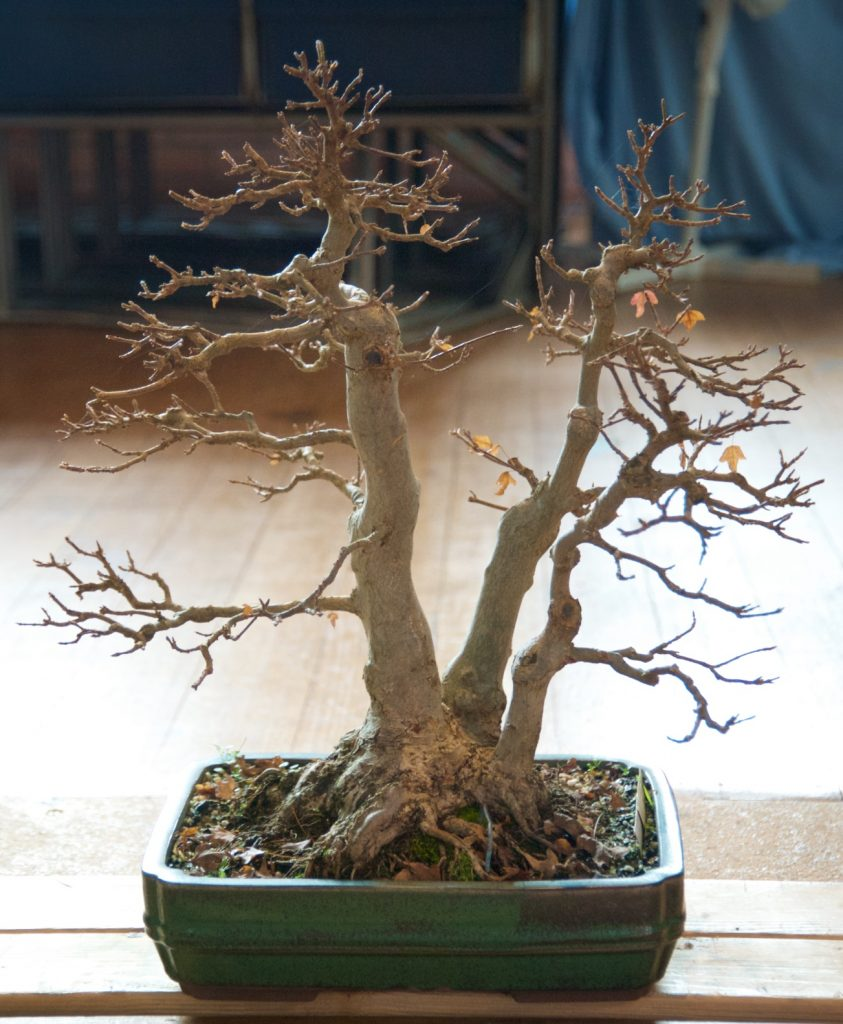 Trident Maple Three trunk