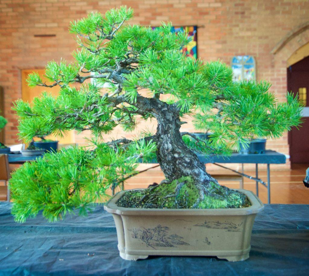 Scots Pine Pinus sylvestris