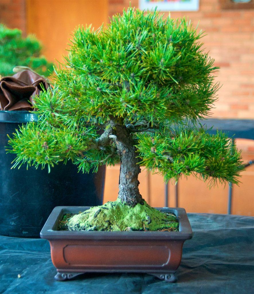 Mugo Pine Pinus mugho