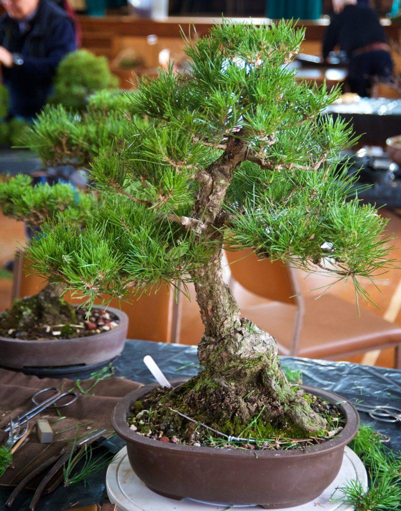 Black Pine? - Pinus thunbergii
