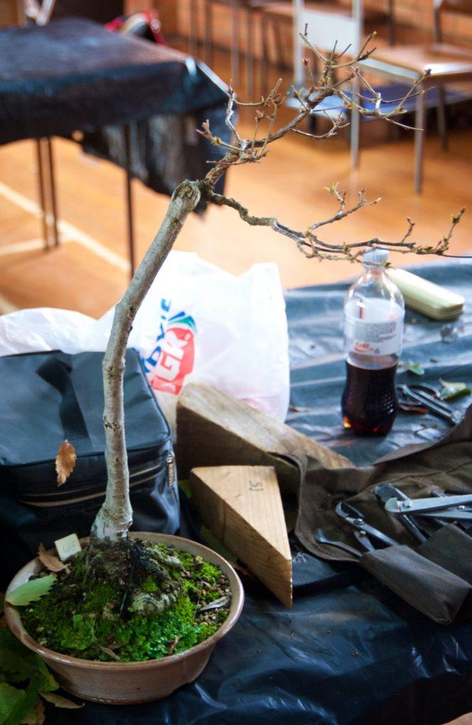 Daimyo Oak - Quercus dentata