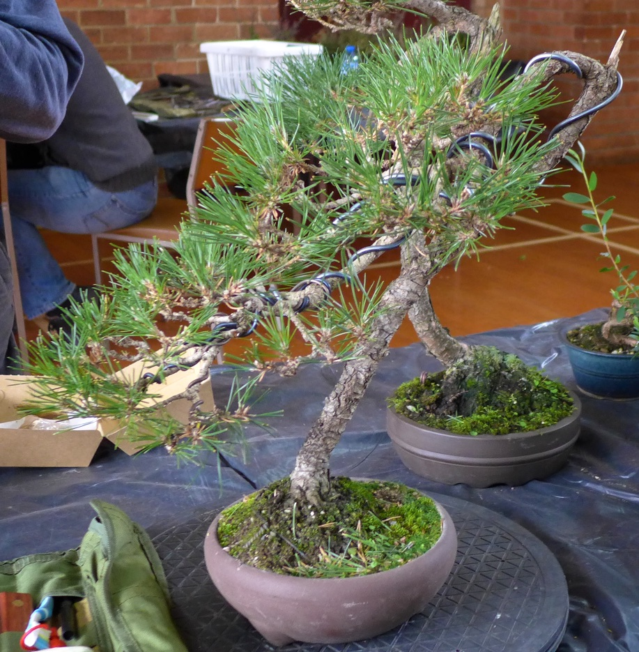 Black Pine - Before