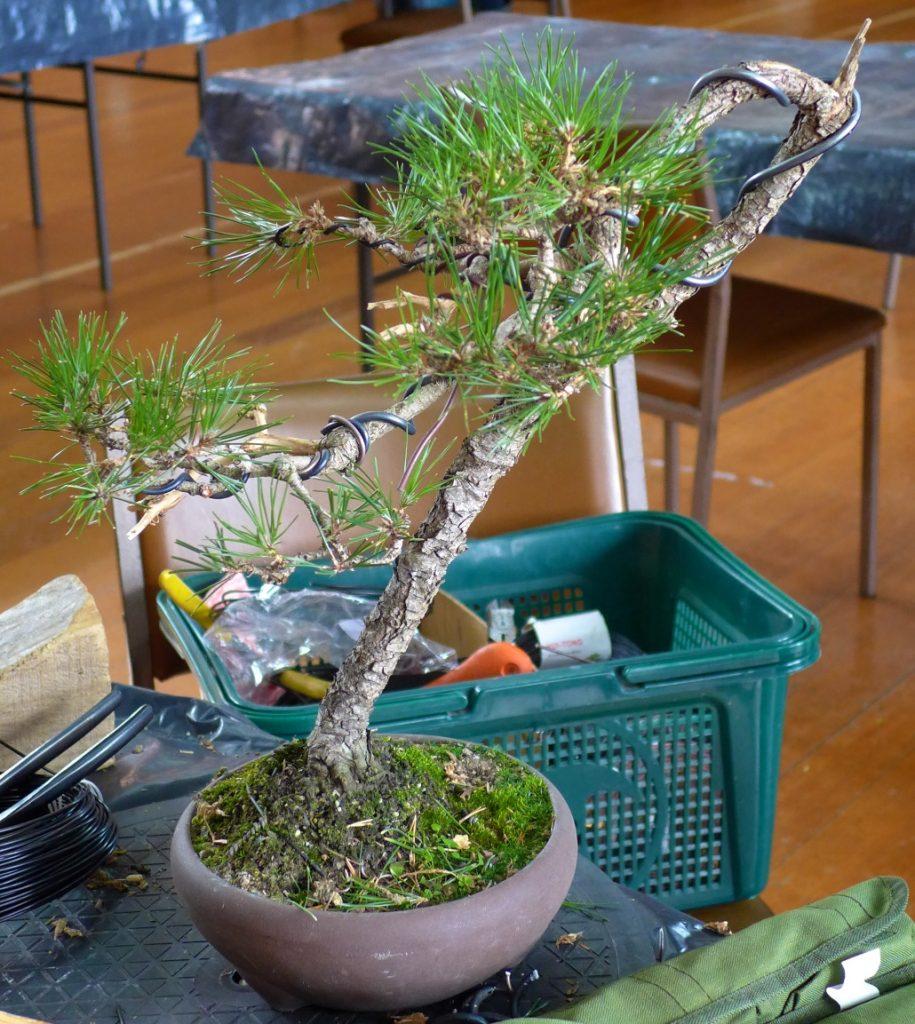 Black Pine - After