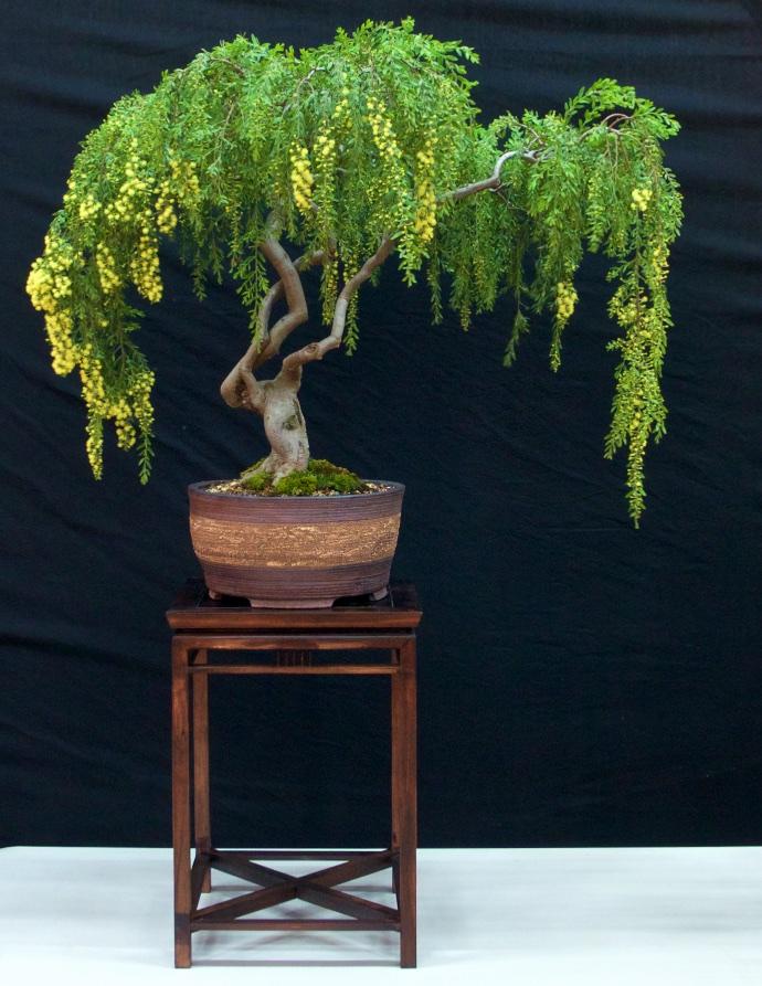 Sticky Wattle - Acacia howittii