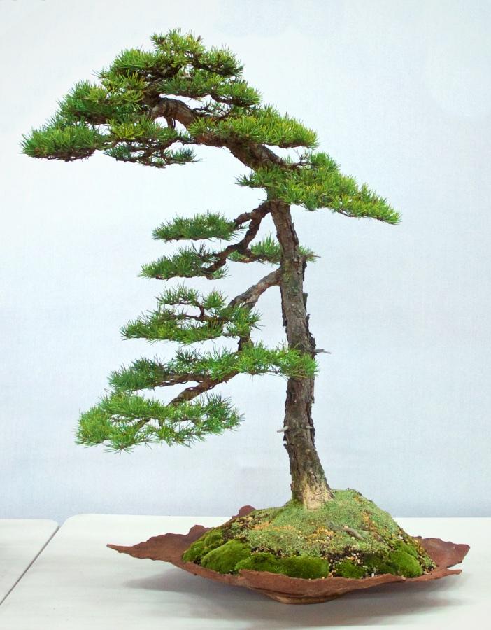 Jack Pine - Pinus banksiana