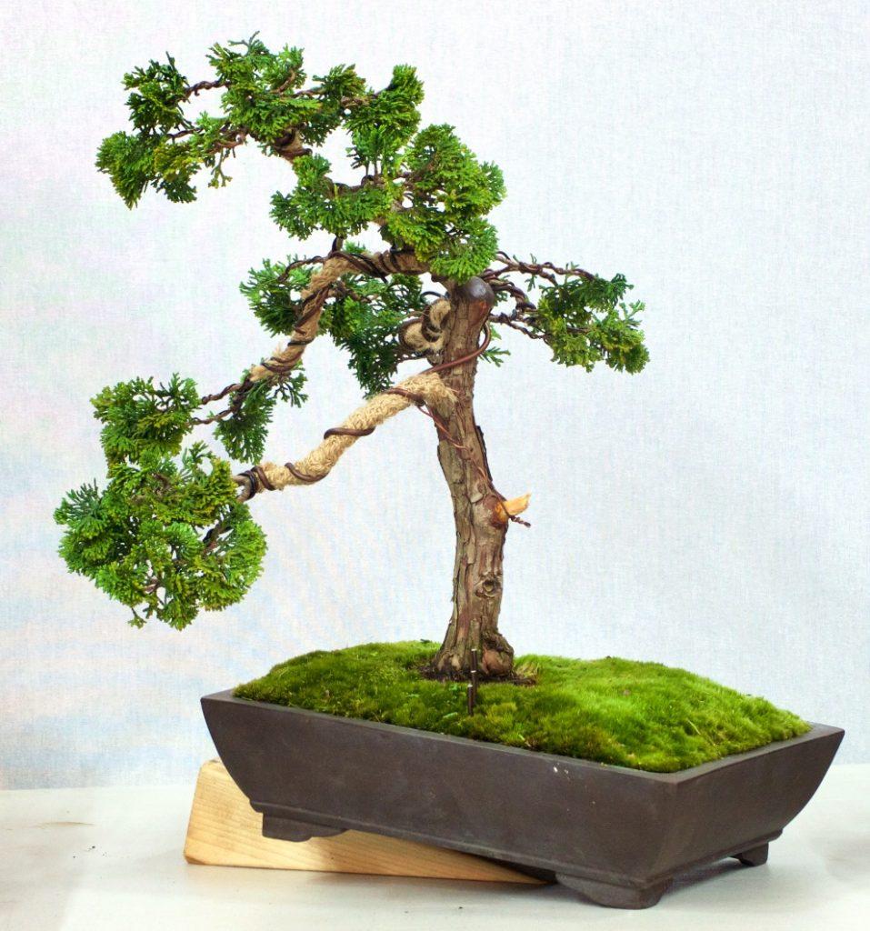 Cyprus Pine