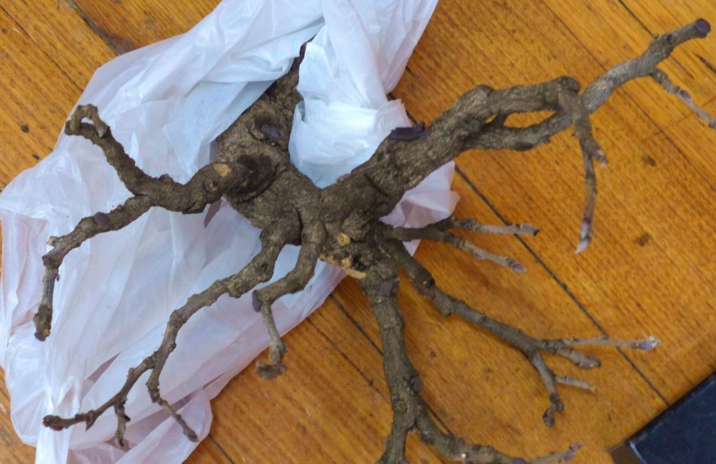 A great Wisteria becomes a casualty of fungus