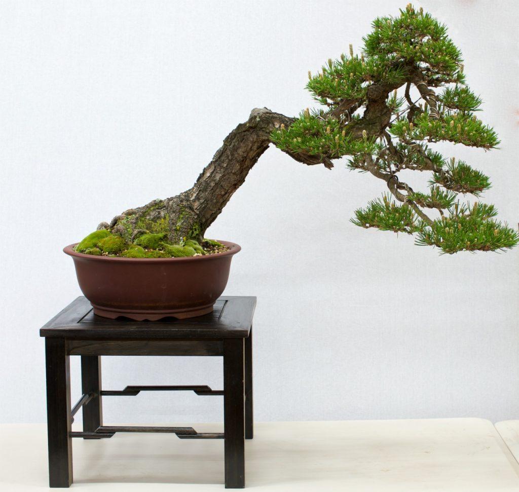 Black Pine - Pinus thunbergii