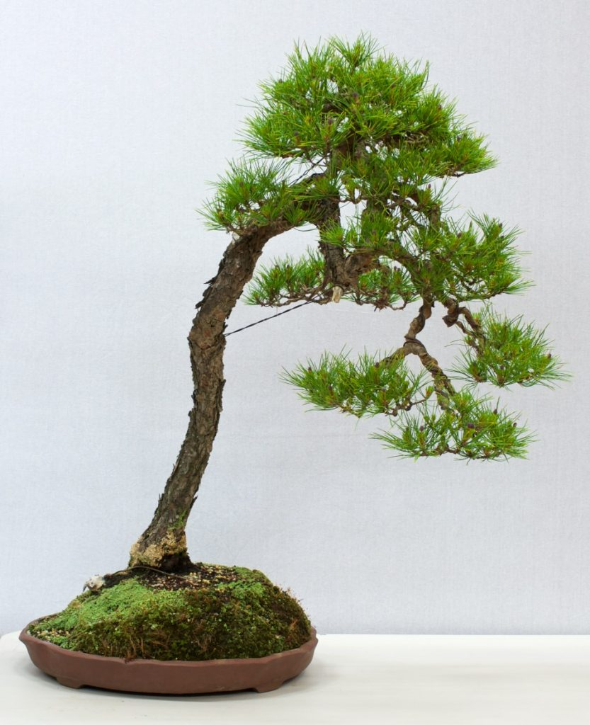 Red Pine - Pinus resinosa