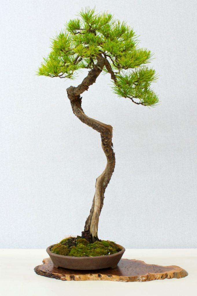 Pine - Mugo?