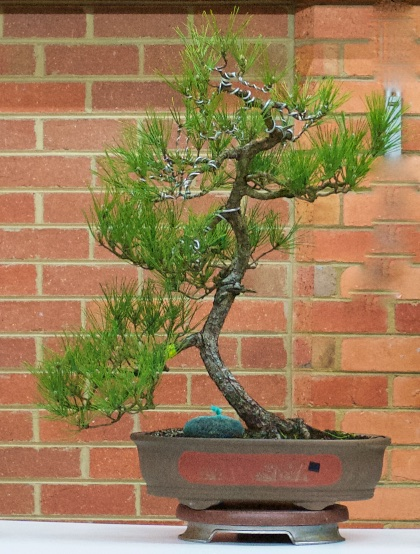 Black Pine before styling.