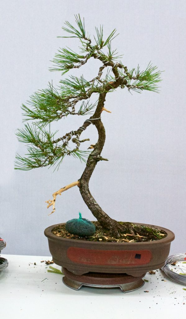 Black Pine after initial styling.
