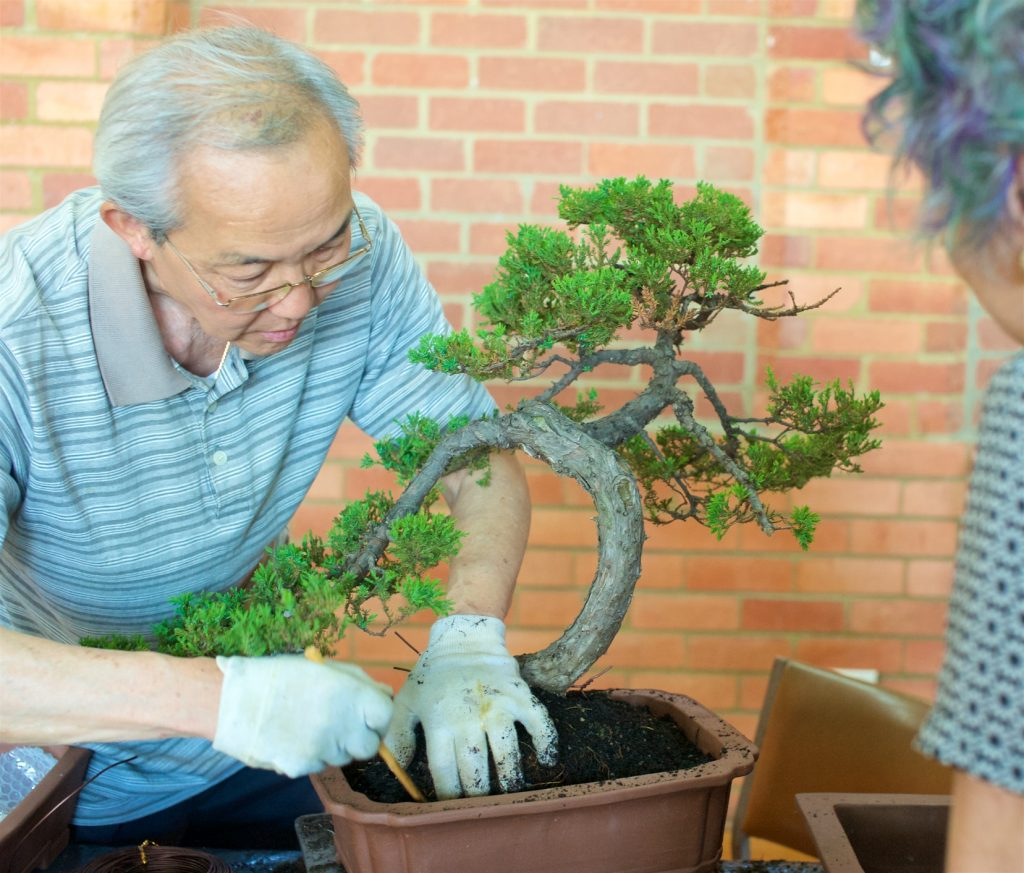 Juniper being repotted.