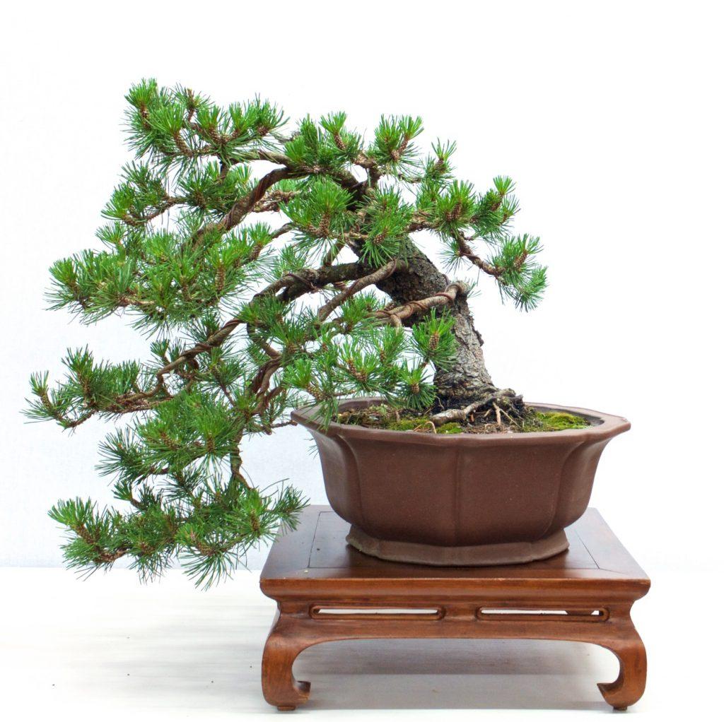 Shore Pine - Pinus contorta