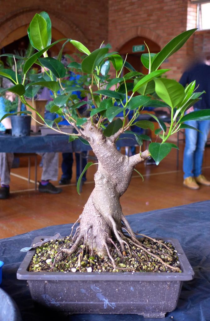 Fig - twisted trunk