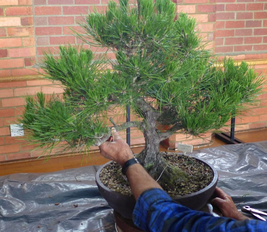 Pine - before adjustment