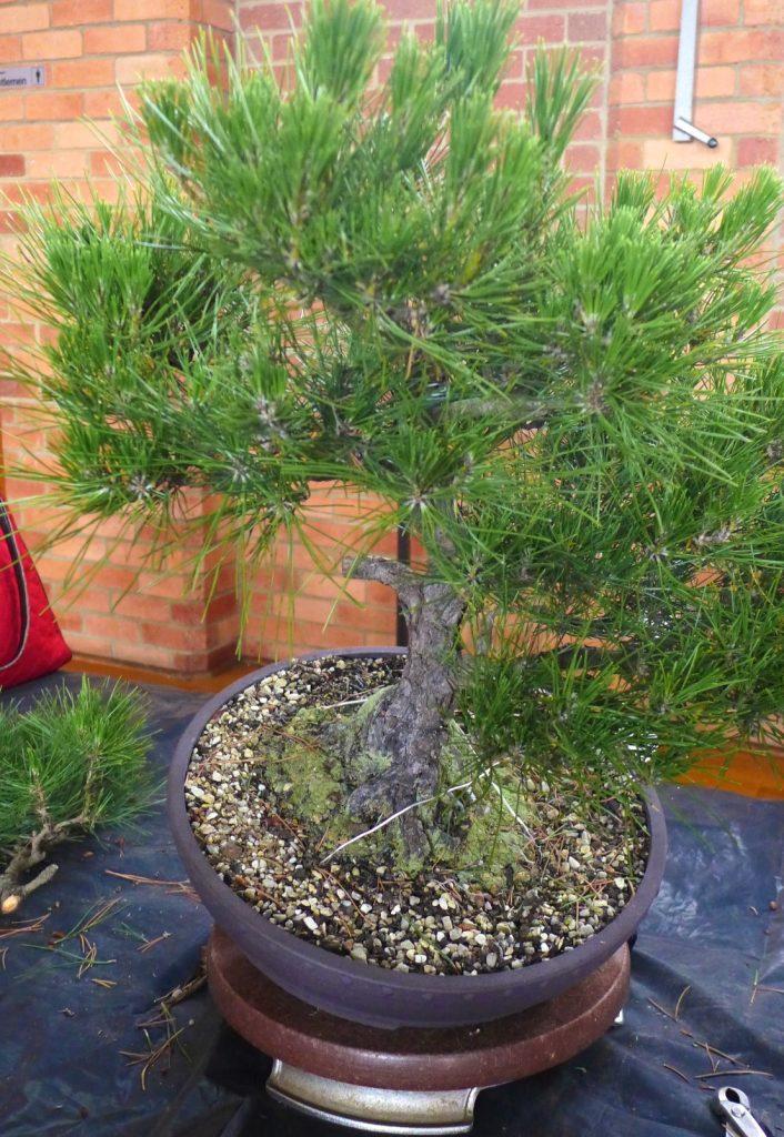 Pine - initial adjustment