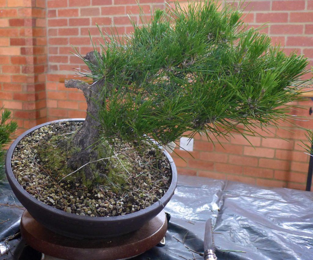 Pine - more adjustment
