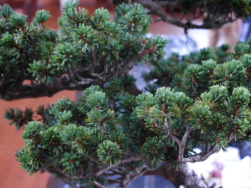White Pine - lovely short needles.