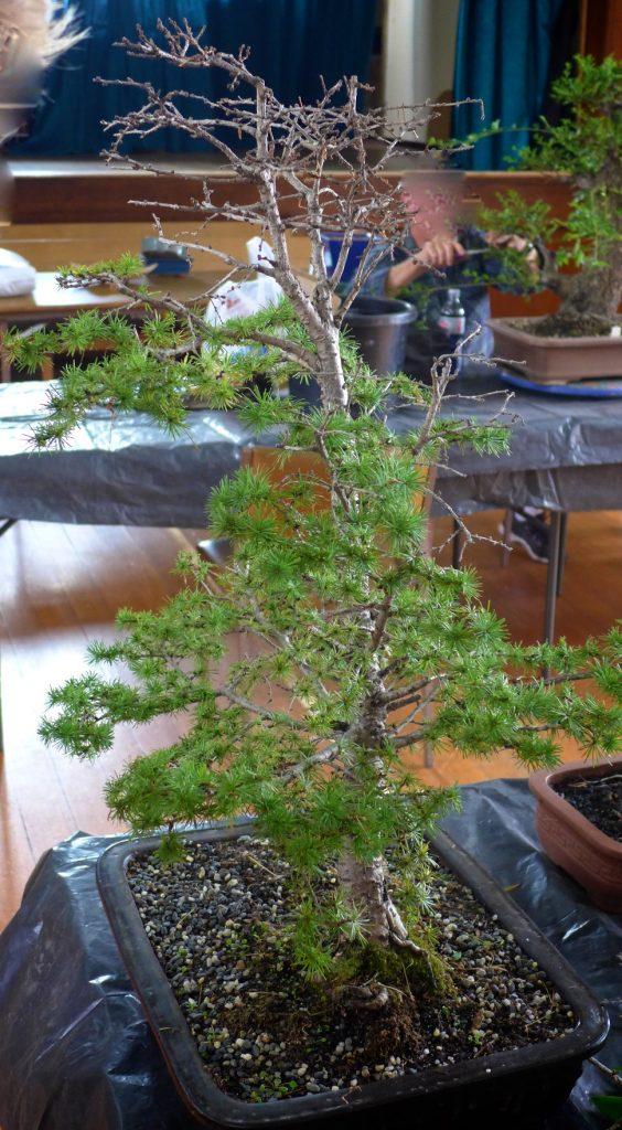 Cedar needing treatment.