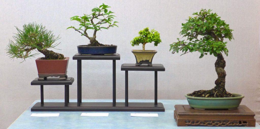 Black Pine, Japanese Winterberry, Kingsville Box & Chinese Elm.