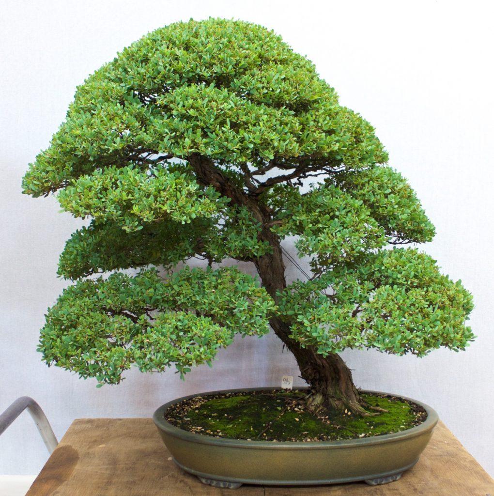 Coastal Tea Tree