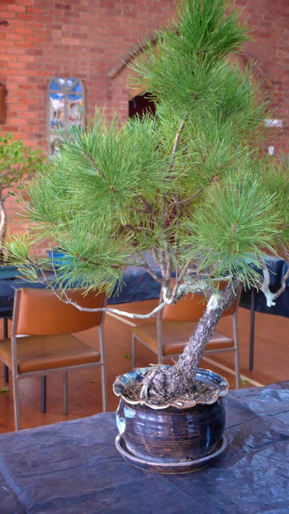 Pine variety in need of work.