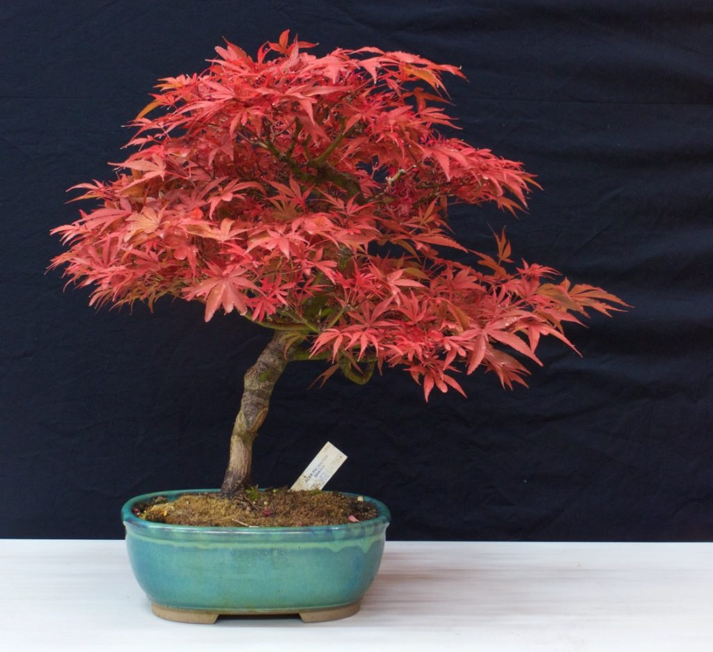 """Acer palmatum """"Shaina"""""""