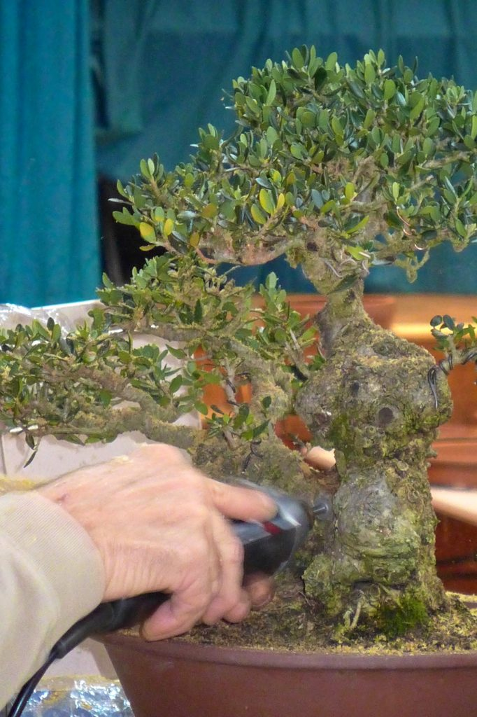 Removing deadwood from an olive.