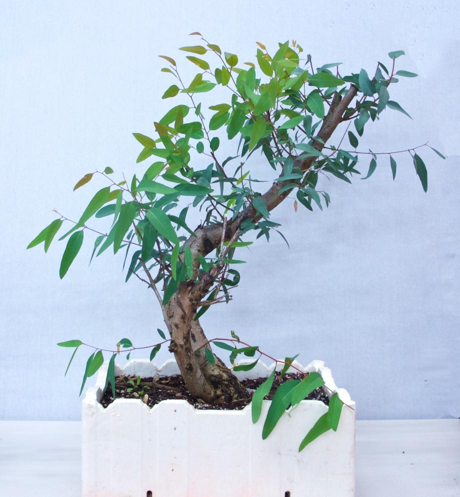 Eucalyptus Yamadori