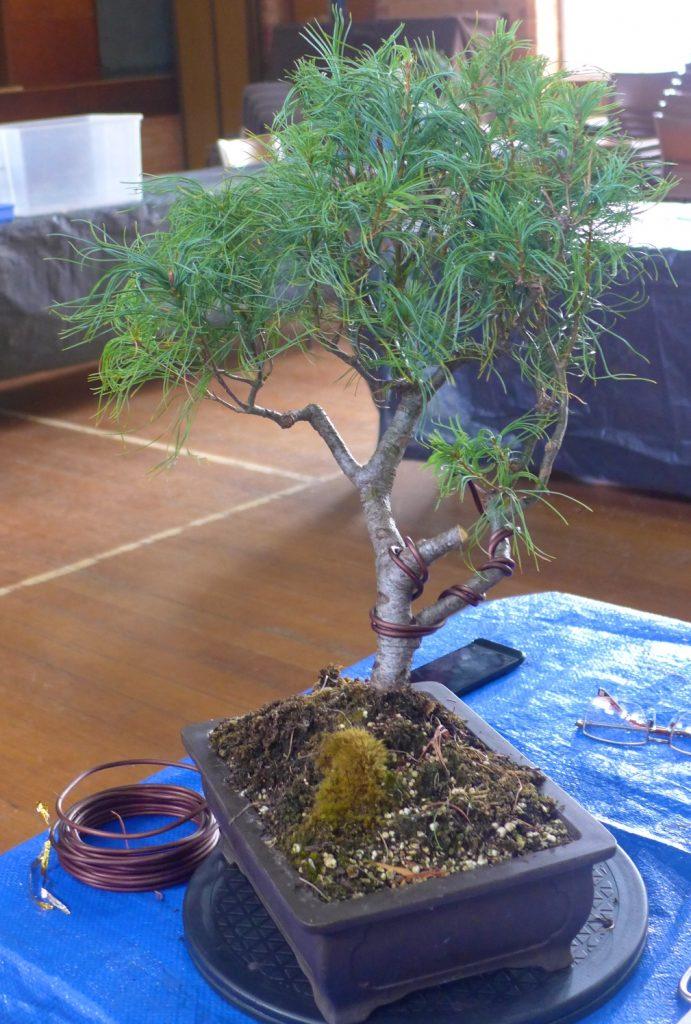 Pine - unusual variety.