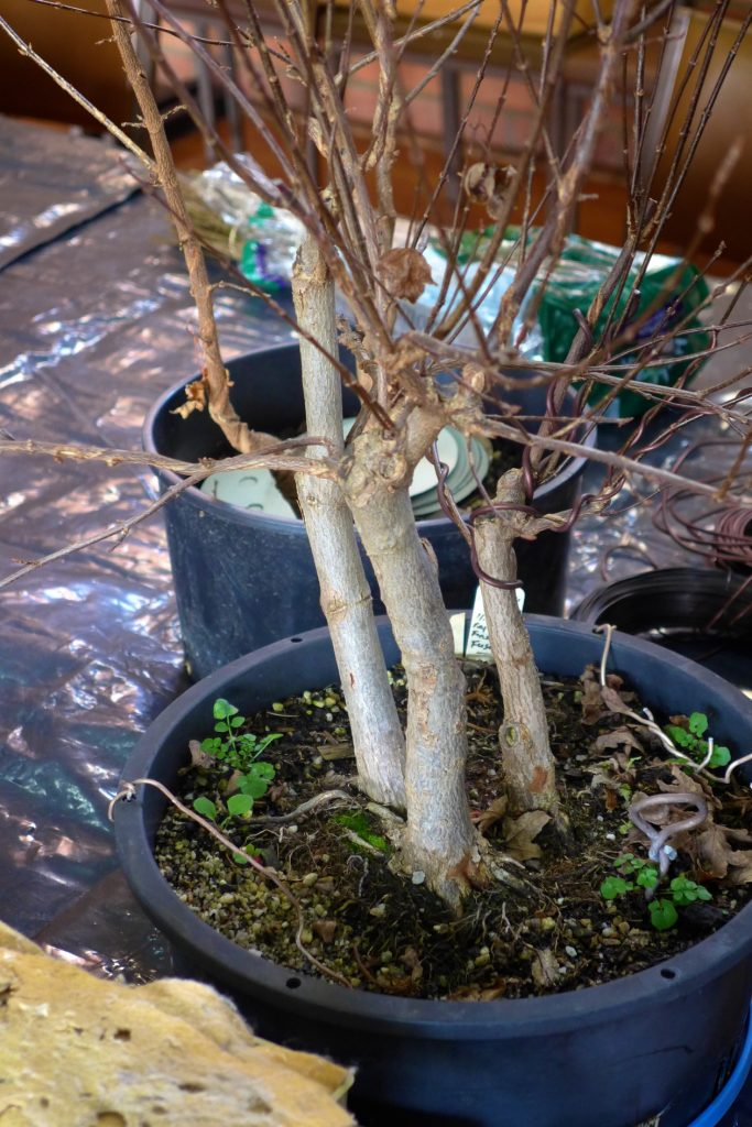 Trident Maple Triple Trunk development.