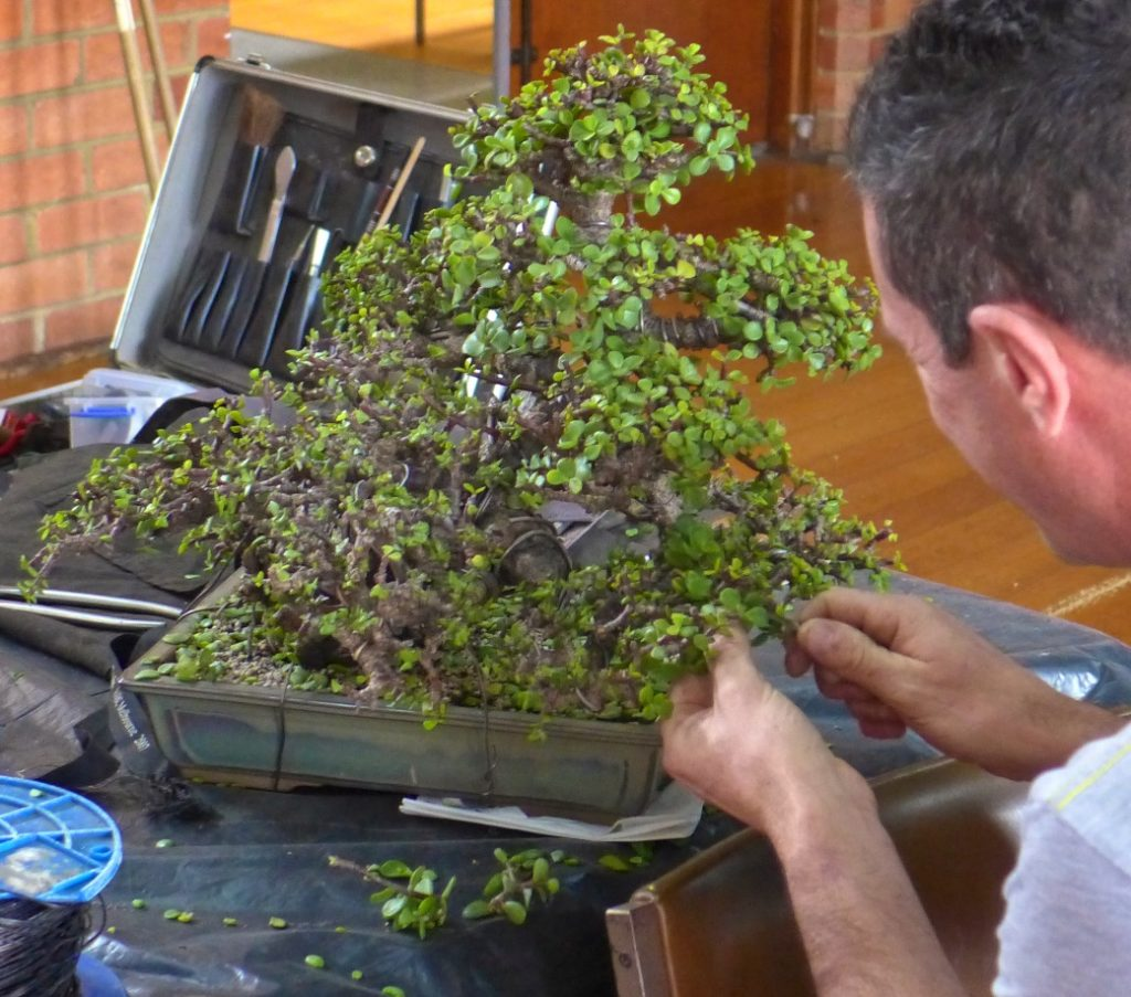 Jade tree having an extensive haircut to encourage finer ramification.