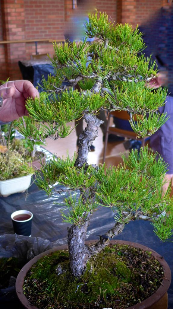 Red Pine trim