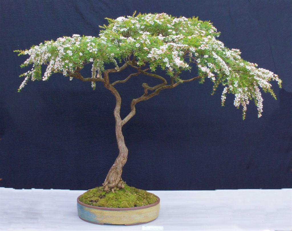 Leptospermum flavescens 'Cardwell Pink'