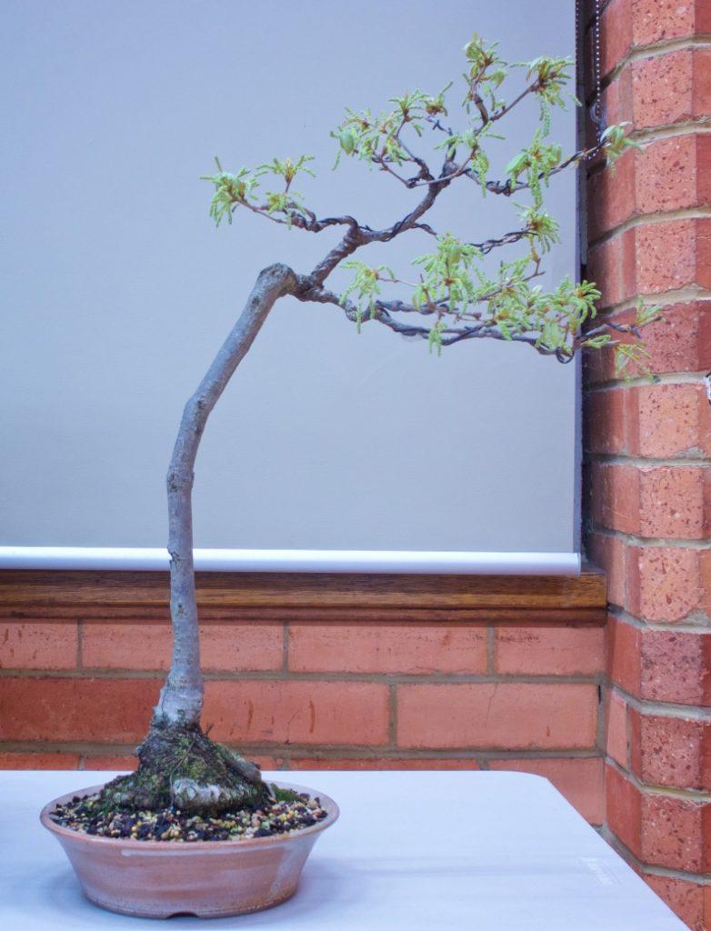 """Quercus dentata """"Daimyo Oak"""""""