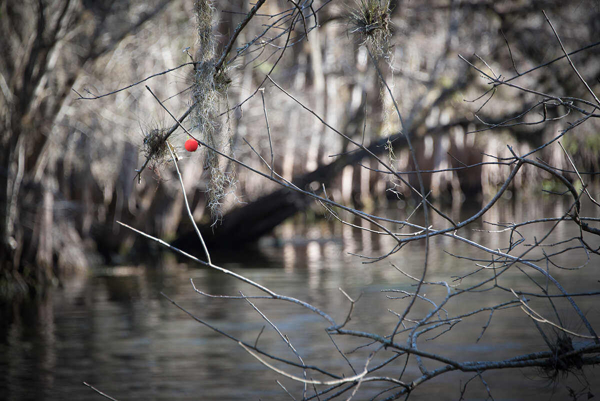 The Little Things - Manatee Springs State Park; Cheifland FloridaThis image was taken during a time in my life when I was going through a lot of changes and uncertainty. When I was walking down the path I noticed this red in the middle of all this dullness in color. I actually surprised myself by noticing this little bit of red. It was a quick reminder to remember the little things even when things aren't going the way you would like them to go! This was my first piece accepted into the SOBO Art Gallery in Winter Garden, Florida.Limited Edition