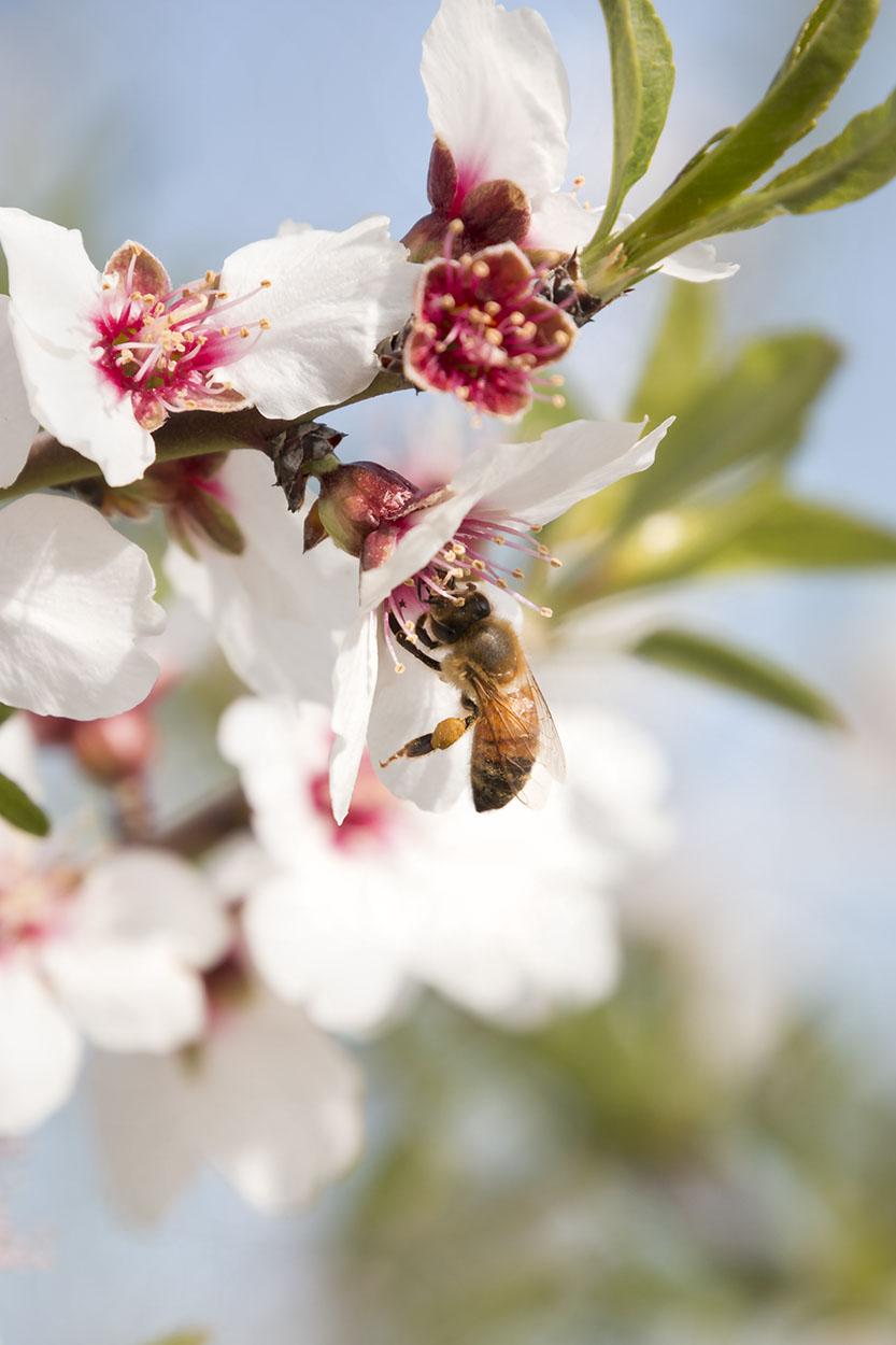 Prunus Dulcis - in full bloom_7085.jpg