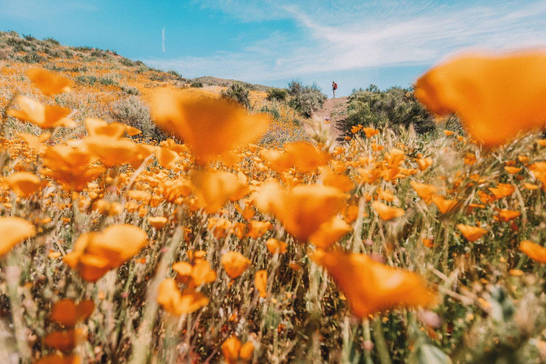 woman-field-poppys-california