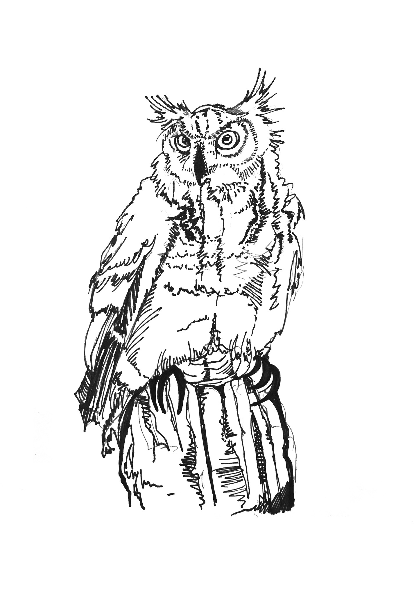 Owl Illustration by Katharine Balardo